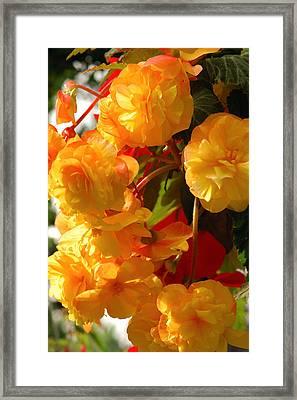 Yellow Begonia Flowers.  Victoria Framed Print by Darlyne A. Murawski