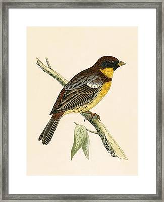 Yellow Breasted Bunting Framed Print by English School