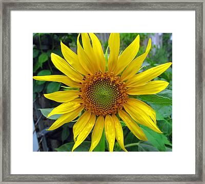 Yellow Burst Framed Print by Barbara McDevitt