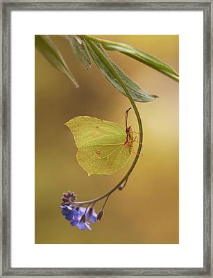 Yellow Butterfly On Blue Forget-me-not Flowers Framed Print by Jaroslaw Blaminsky
