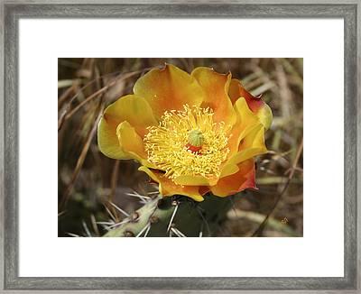 Yellow Cactus Flower On Display Framed Print by Ben and Raisa Gertsberg