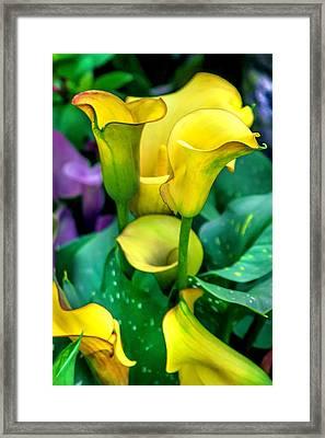 Yellow Calla Lilies Framed Print by Az Jackson