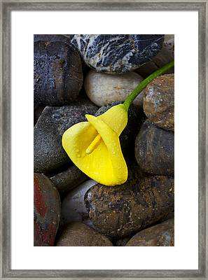 Cultivated Framed Print featuring the photograph Yellow Calla Lily On Rocks by Garry Gay
