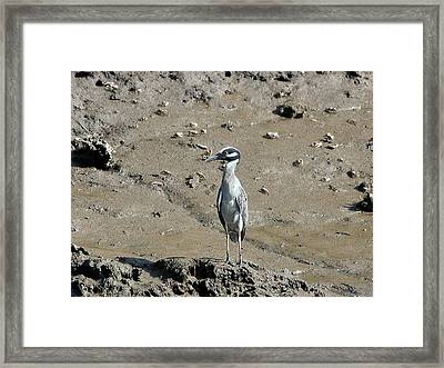Yellow-crowned Night-heron Framed Print by Al Powell Photography USA