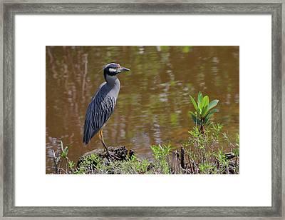 Yellow-crowned Night Heron At Water's Edge Framed Print by Debra Larabee