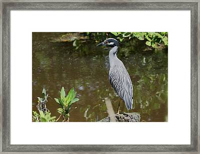 Yellow-crowned Night Heron Perched Framed Print by Debra Larabee