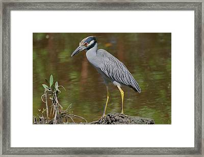 Yellow-crowned Night Heron Waiting Framed Print by Debra Larabee