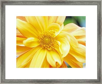 Yellow Dahlia Framed Print by Kathy Yates
