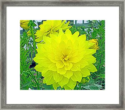 Yellow Dahlia Framed Print by Kay Novy