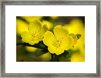 Yellow Flowers - Evening Primrose Framed Print by Christina Rollo