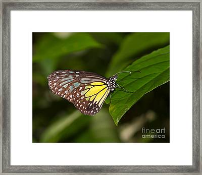 Yellow Glassy Tiger Butterfly Framed Print by Louise Heusinkveld