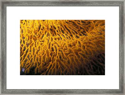 Yellow Gorgonian Sea Fan, Mopsella Framed Print by James Forte