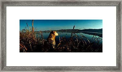 Yellow Labrador Retriever Framed Print by Panoramic Images