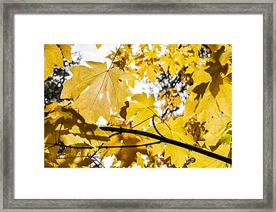 Yellow Leaves Framed Print by Pelo Blanco Photo