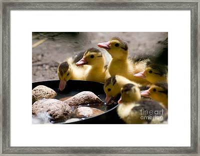 Yellow Muscovy Duck Ducklings Drinking Water  Framed Print by Arletta Cwalina