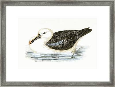Yellow Nosed Albatross Framed Print by English School