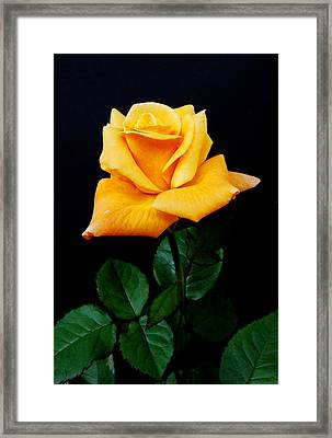 Yellow Rose Framed Print by Michael Peychich