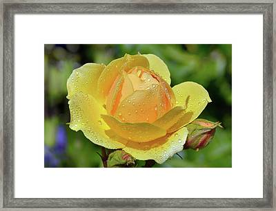 Yellow Rose Portrait Framed Print by Terence Davis