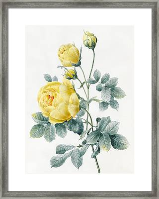 Yellow Roses Framed Print by Louise D'Orleans