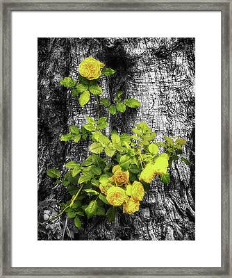Yellow Roses On Tree Bark Framed Print by Wim Lanclus