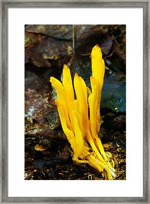 Yellow Spindle Coral Mushrooms Framed Print by Panoramic Images
