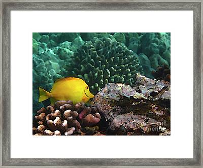 Yellow Tang On The Reef Framed Print by Bette Phelan