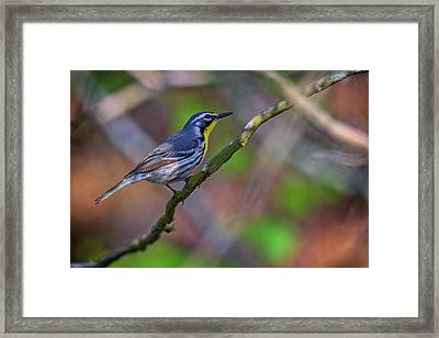 Yellow-throated Warbler Framed Print by Rick Berk