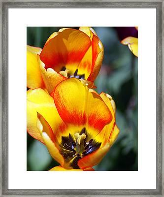 Yellow Tulip Framed Print by Marty Koch