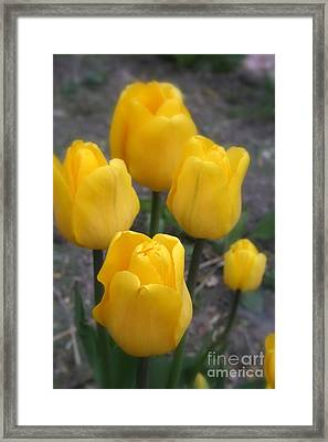 Yellow Tulips 1 Framed Print by Kay Novy