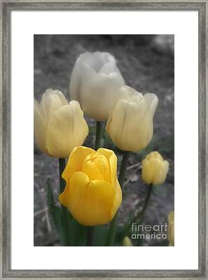 Yellow Tulips 2 Framed Print by Kay Novy