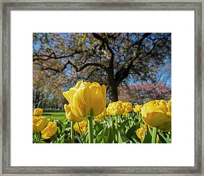 Yellow Tulips In The Public Garden Boston Ma Framed Print by Toby McGuire