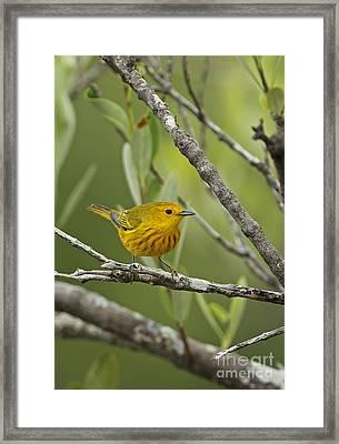 Yellow Warbler In Cuba Framed Print by Neil Bowman/FLPA