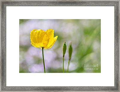 Yellow Welsh Poppy - Natalie Kinnear Photography Framed Print by Natalie Kinnear