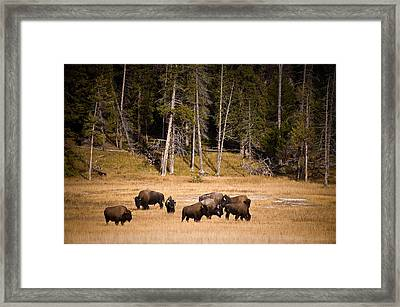 Yellowstone Bison Framed Print by Steve Gadomski