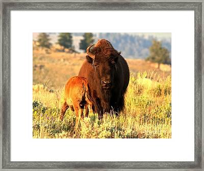Yellowstone Golden Buffalo Framed Print by Adam Jewell