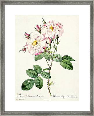 York And Lancaster Rose Framed Print by Pierre Joseph Redoute