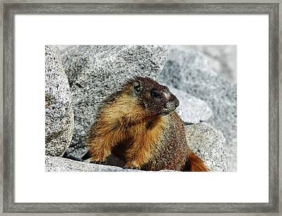 Yosemite Yellow Bellied Marmot Framed Print by LeeAnn McLaneGoetz McLaneGoetzStudioLLCcom