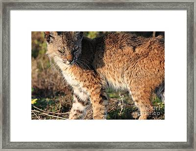Young Bobcat 01 Framed Print by Wingsdomain Art and Photography