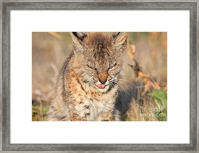 Young Bobcat 02 Framed Print by Wingsdomain Art and Photography
