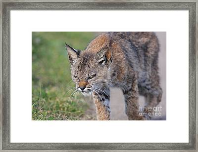 Young Bobcat 03 Framed Print by Wingsdomain Art and Photography