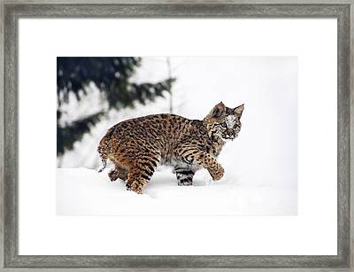 Young Bobcat Playing In Snow Framed Print by Melody Watson