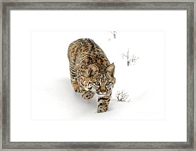 Young Bobcat Stalking Framed Print by Melody Watson
