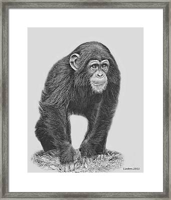 Young Chimpanzee 2 Framed Print by Larry Linton