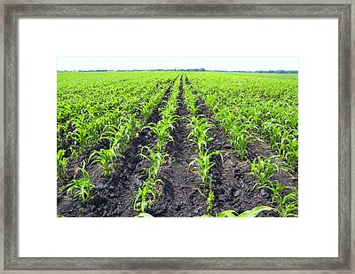 Young Corn Field Framed Print by Donald  Erickson