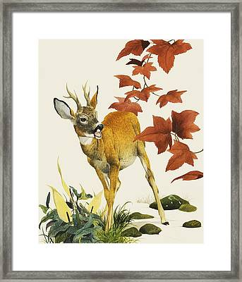 Young Fallow Deer Framed Print by English School