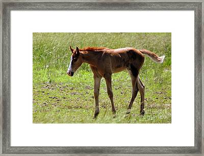 Young Foal Framed Print by Marty Koch