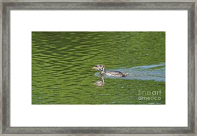 Young Grebe Framed Print by Marv Vandehey