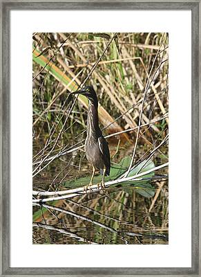 Young Green Heron  Framed Print by Christiane Schulze Art And Photography