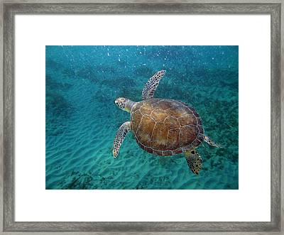 Young Green Turtle Framed Print by Kimberly Mohlenhoff