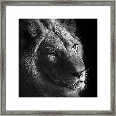 Young Lion In Black And White Framed Print by Lukas Holas